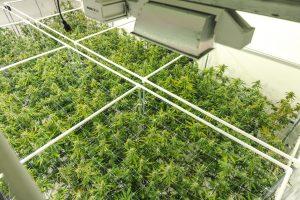 iStock-1177157871-cannabis-300x200